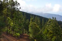 Mooi panorama van pijnboombos met zonnige de zomerdag Naaldbomen Duurzaam ecosysteem Het lopen op vulkaan royalty-vrije stock afbeeldingen