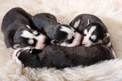 Mooi Pasgeboren Husky Puppies stock foto