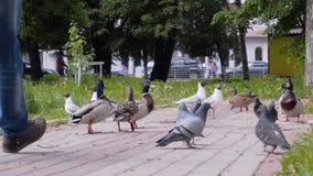Mooi plan van een grote troep van vogels De duiven, de meeuwen en de eenden voeden samen op het brood dat zij mensen werpen Koele stock footage