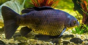 Mooi portret van een Europese karper, populaire vissen in aquicultuur, kwetsbare specie van de wateren van Eurasia stock foto