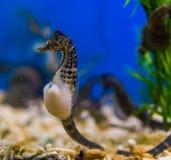 Mooi portret van een grote buik seahorse, populair huisdier in aquicultuur, tropische vissen van de rivieren van Australië stock foto's