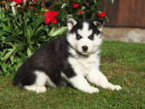 Mooi puppy van Siberische schor in de tuin Stock Foto's