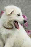Mooi puppy van Witte Zwitserse Herder Dog Stock Afbeelding