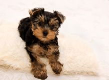 Mooi puppy Yorkshire terrie Stock Foto