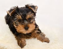 Mooi puppy Yorkshire terrie Stock Foto's