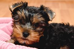 Mooi puppy Yorkshire Terrier Stock Foto's