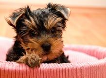 Mooi puppy Yorkshire Terrier Stock Foto