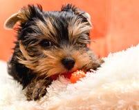 Mooi puppy Yorkshire Terrier Stock Afbeelding
