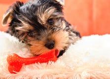 Mooi puppy Yorkshire Terrier Royalty-vrije Stock Fotografie