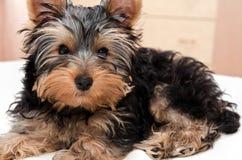 Mooi puppy Yorkshire Terrier Royalty-vrije Stock Afbeelding