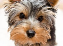 Mooi puppy Yorkshire Terrier Royalty-vrije Stock Foto