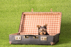 Mooi puppy Yorkshire Terrier Royalty-vrije Stock Foto's