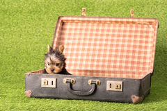 Mooi puppy Yorkshire Terrier Stock Afbeeldingen