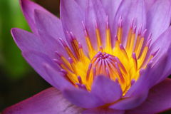 Mooi Purper Lotus Stock Afbeelding