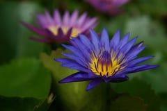 Mooi Purper Lotus Stock Fotografie