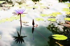 Mooi Purper Lotus met bezinning Royalty-vrije Stock Foto