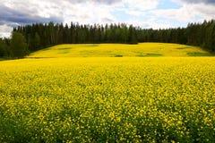 Mooi raapzaadgebied in noordelijk Europa stock afbeelding