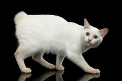 Mooi ras zonder Staartmekong Bobtail Cat Isolated Black Background Royalty-vrije Stock Afbeelding