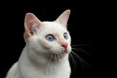 Mooi ras zonder Staartmekong Bobtail Cat Isolated Black Background Royalty-vrije Stock Fotografie