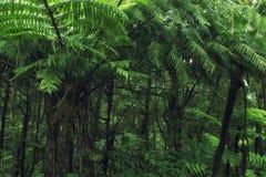 Mooi Regenwoud met Boomvarens Royalty-vrije Stock Foto's
