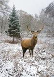 Mooi rood hertenmannetje in behandelde sneeuw de feestelijke seizoenwinter FO royalty-vrije stock foto's