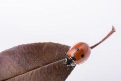 Mooi rood lieveheersbeestje die op een droog blad lopen Royalty-vrije Stock Afbeeldingen