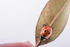 Mooi rood lieveheersbeestje die op een droog blad lopen Royalty-vrije Stock Foto