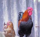 Mooi rood met zwarte haan en rode kippen Stock Afbeeldingen