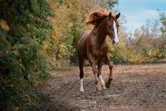 Mooi rood paard op de vrijheidsherfst Stock Afbeelding