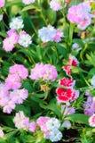 Mooi Roze, Indisch roze, het roze van China, of Regenboog roze Bloemen Stock Foto