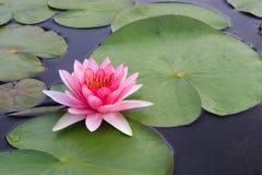 Mooi Roze Lotus Stock Afbeelding