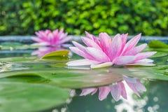 Mooi Roze Lotus, waterplant met bezinning in een vijver Royalty-vrije Stock Foto's