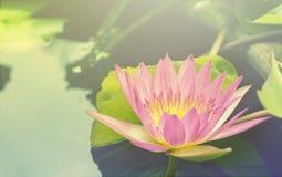 Mooi Roze Thais Lotus stock foto