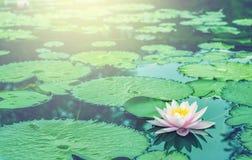 Mooi Roze Thais Lotus royalty-vrije stock foto's