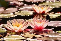 Mooi roze waterlily - lotusbloembloem in vijver Nymphaea, Waterlily royalty-vrije stock afbeelding
