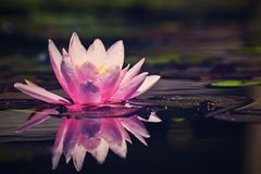 Mooi roze waterlily - lotusbloembloem in vijver Nymphaea, Waterlily stock fotografie
