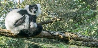 Mooi ruffed de zwart-witte zitting van de makiaap in een boom op een tak kijkend naar de camera zeer leuke primaat dierlijke po stock afbeeldingen