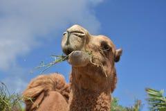 Mooi Shaggy Camel Chewing op Hooi in Aruba royalty-vrije stock afbeeldingen