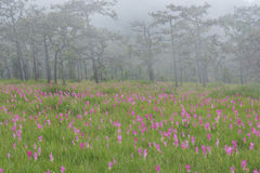 Mooi Siam Tulip Fields royalty-vrije stock foto