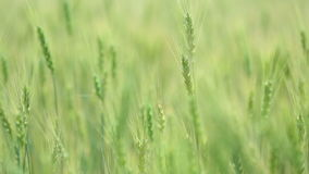 Mooi tarwegebied op blauwe hemel met wolken Groene tarwe op het gebied Niet rijp de tarwe stock footage