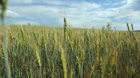 Mooi tarwegebied op blauwe hemel met wolken Groene tarwe op het gebied Niet rijp de tarwe stock videobeelden