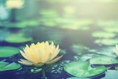 Mooi Thais Lotus dat is gewaardeerd royalty-vrije stock afbeelding
