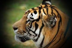 Mooi tijgerhoofd Stock Afbeeldingen