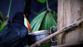 Mooi Toco Toucan Eating stock footage