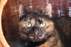 Mooi tricolored kat ligt in de wilgenmand royalty-vrije stock afbeelding