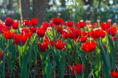 Mooi tulpengebied in tuin Stock Foto