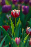 Mooi tulpengebied in tuin Stock Fotografie