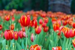 Mooi tulpengebied in tuin Stock Afbeeldingen
