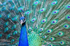 Mooi uitgespreid van een pauw Stock Afbeelding