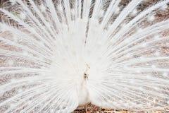 Mooi uitgespreid van witte pauw Royalty-vrije Stock Foto's